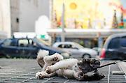 SAO PAULO, SP, 09.12.2013 - CENA DO DIA - A cadelinha Vilma se refresca em saída de ar do Metro, na Avenida Paulista, na tarde desta segunda feira, 09. A dona, Catarina, diz que sempre a leva no local em dias quentes. A cadela rolando nas grades da saída de ar atraiu a atenção de quem passava pela região. (Foto: Alexandre Moreira / Brazil Photo Press)