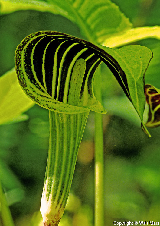 Jack-in-the pulpit, grows in damp woods and swamps.  AKA Indian Turnip (they cooked the taproot)