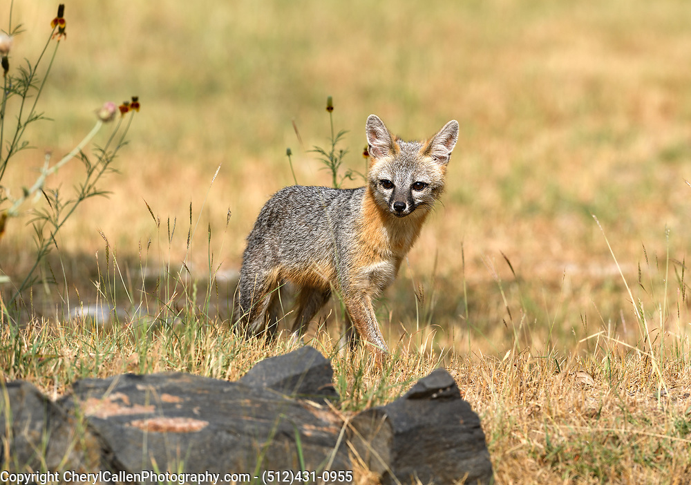 Female Gray Fox