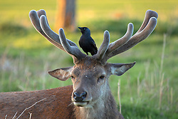 © Licensed to London News Pictures. 26/04/2016. London, UK.  A bird sits on a deers antlers at sunset in Bushy Park, west London on May 16, 2016.   Photo credit: Colin Hart/LNP