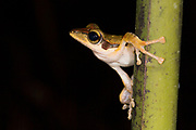 Dark-eared Tree Frog (Polypedates macrotis) from Deramakot Forest Reserve, Sabah, Borneo