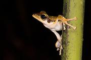 Dark-eared Tree Frog (Polypedates macrotis) from Deramakot Forest Reserve, Sabah, Borneo