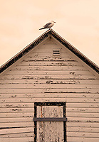 New York, Long Island - seagull sitting on the roof of a beach house.