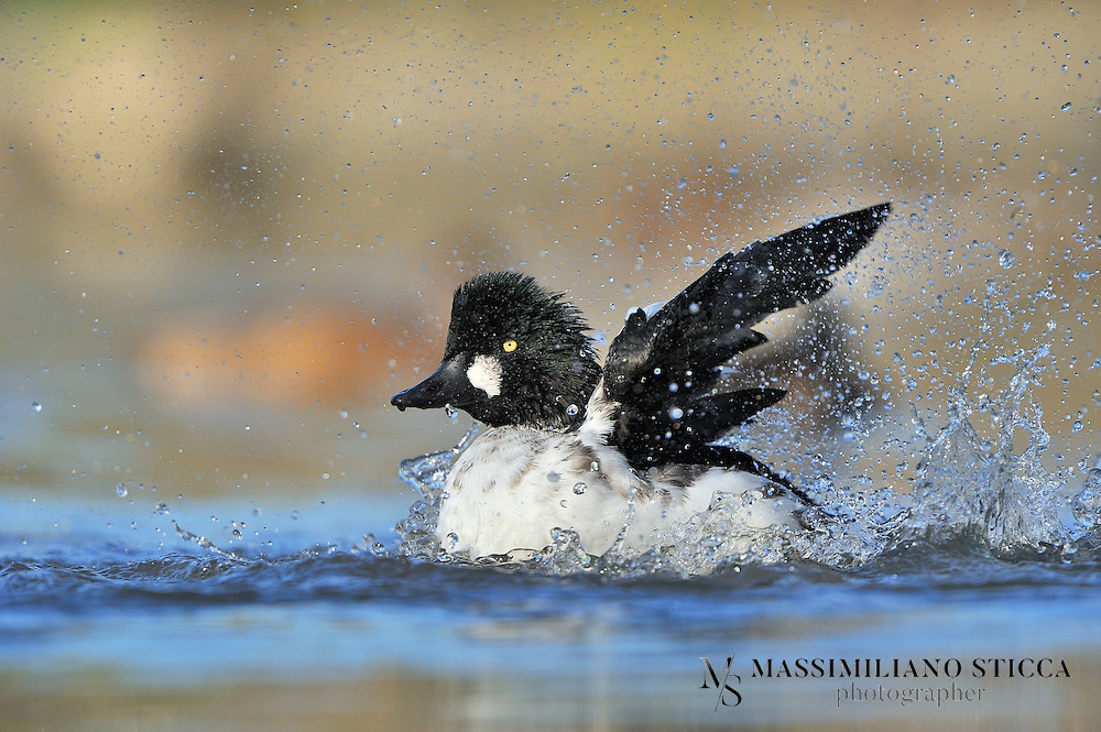 The Common Goldeneye (Bucephala clangula) is a medium-sized sea duck of the genus Bucephala, the goldeneyes. Their closest relative is the similar Barrow's Goldeneye.<br />