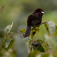 A silver-beaked tanager perches on a branch on Pahuachiro Creek near the Maranon River in the Pacaya-Samiria National Reserve of the Peruvian Amazon.