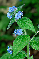 GREEN ALKANET Pentaglottis sempervirens (Boraginaceae) Height to 60cm. Upright, bristly perennial found in shady hedgerows and on roadside verges. FLOWERS are 8-10mm across and blue with a white centre; borne in clusters arising from upper leaf axils (Apr-Jun). FRUITS are rough nutlets. LEAVES are oval, pointed and net-veined; lower leaves stalked, upper ones unstalked. STATUS-Naturalised locally.