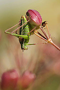 Isophya Savignyi - Bush Cricket These insects can be separated from true crickets by their 4- segmented tarsi and short cerci. Photographed in Israel in March