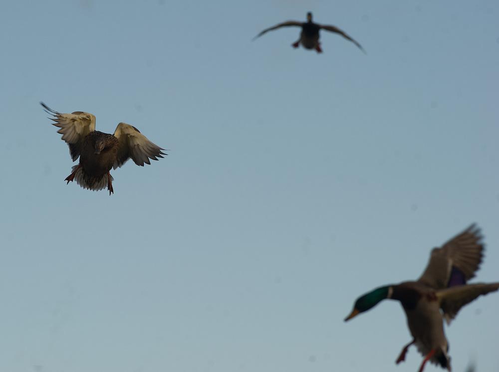 Mallards in flight.