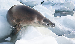 Crabeater Seal (Lobodon caecinophagus) in snow on ice at Port Lockrey, Antarctica