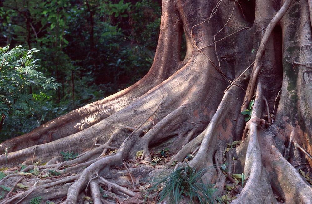 The roots of a banyan tree in Hong Kong Park, Hong Kong, China.