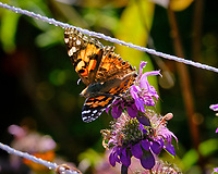 Painted Lady butterfly feeding on Lemon Mint flowers. Image taken with a Fuji X-T3 camera and 200 mm f/2 lens