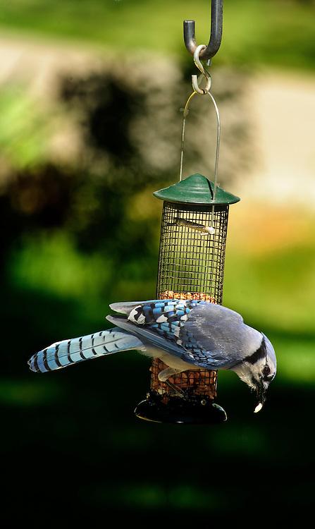 Bluejay eating peanuts from bird feeder