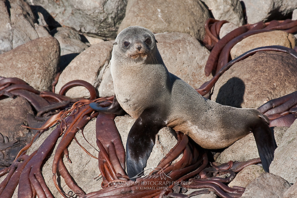 New Zealand Fur Seal basking in the sun, next to dried kelp at Stewart Island.