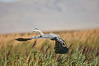 A Great Blue Heron fly's over a group of cattails.
