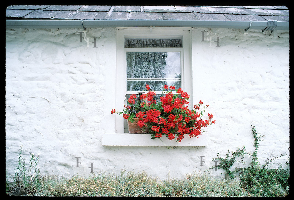 Red flowers frame window of whitewashed stone home on Ashford Castle estate; Cong. Ireland