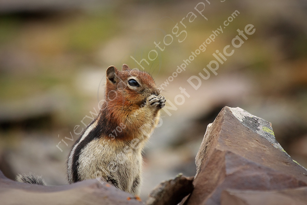A little critter playing in the rocks near the top of Highwood Pass..©2009, Sean Phillips.http://www.Sean-Phillips.com