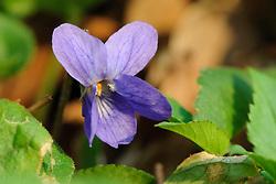 sweet violet, maarts viooltje