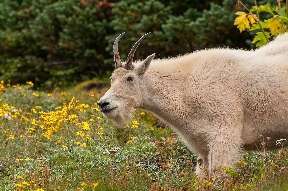 This female mountain goat (also called a doe or nanny) was found and photographed just under the top of Hurricane Ridge on the Washington's Olympic Peninsula. Too busy eating to worry about a human nearby, she did keep an eye on me and her youngster (also called a kid) who was learning which plants to eat by copying it's mother.