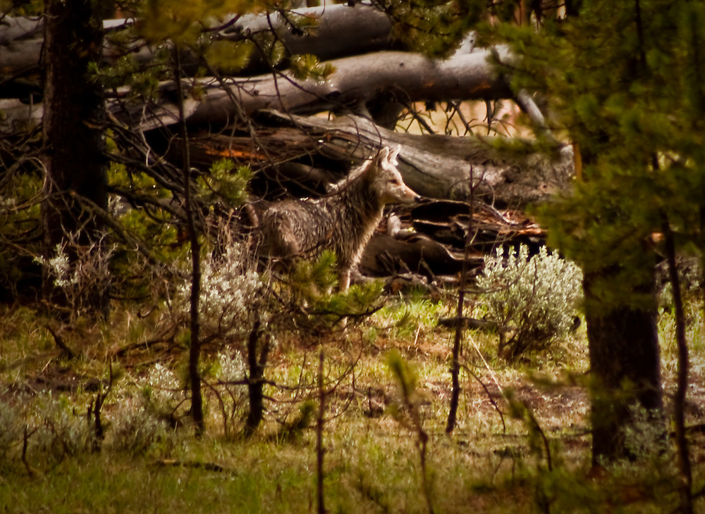In the Forest - Coyote - Grand Teton National Park, Wyoming