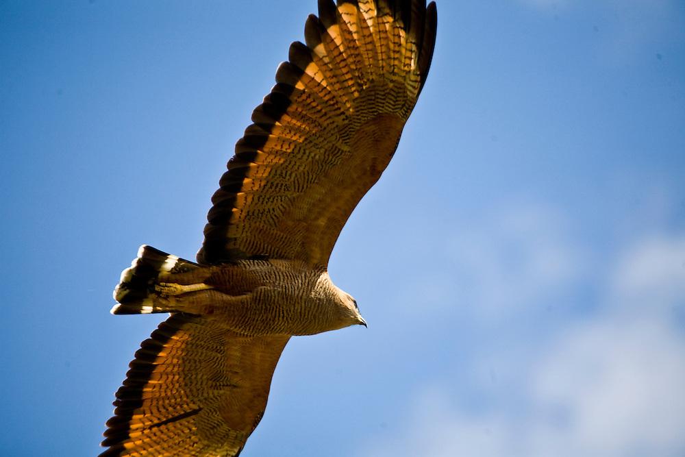 Aquidauana_MS, Brasil...Ave de rapina voando na fazenda Rio Negro no Pantanal...The bird of prey flying over the Rio Negro farm in Pantanal...Foto: JOAO MARCOS ROSA / NITRO