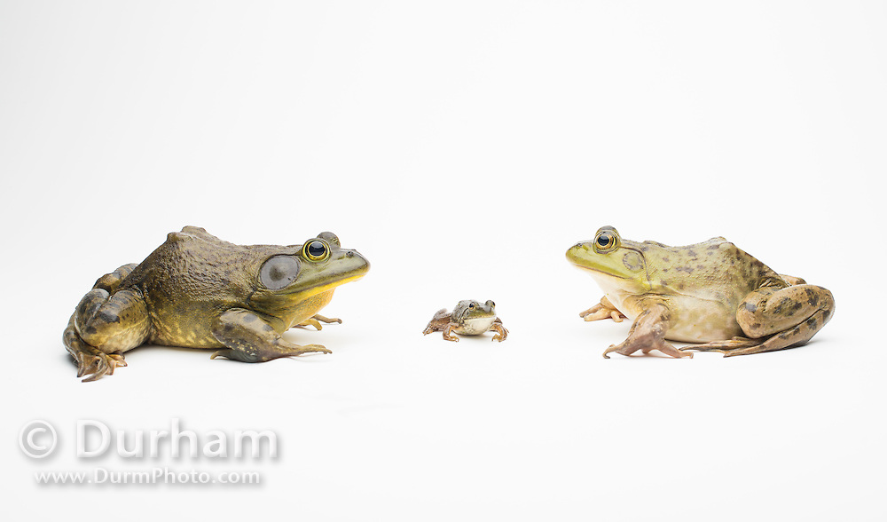 A male (left), newly morphed juvenile (middle), and female American bullfrog (Lithobates catesbeianus) - an invasive species in the western North America.