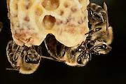 Honey bee (Apis mellifera), Kiel, Germany | Im Bild sind zwei Königinnenzellen (Weiselzelle) der Honigbiene (Apis mellifera) zu sehen. Die Zellen werdnen von Arbeiterinnen gepflegt. Die beiden rechten Arbeiterinnen übergeben sich Nektar. Kiel, Deutschland