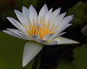 Image of a water lily