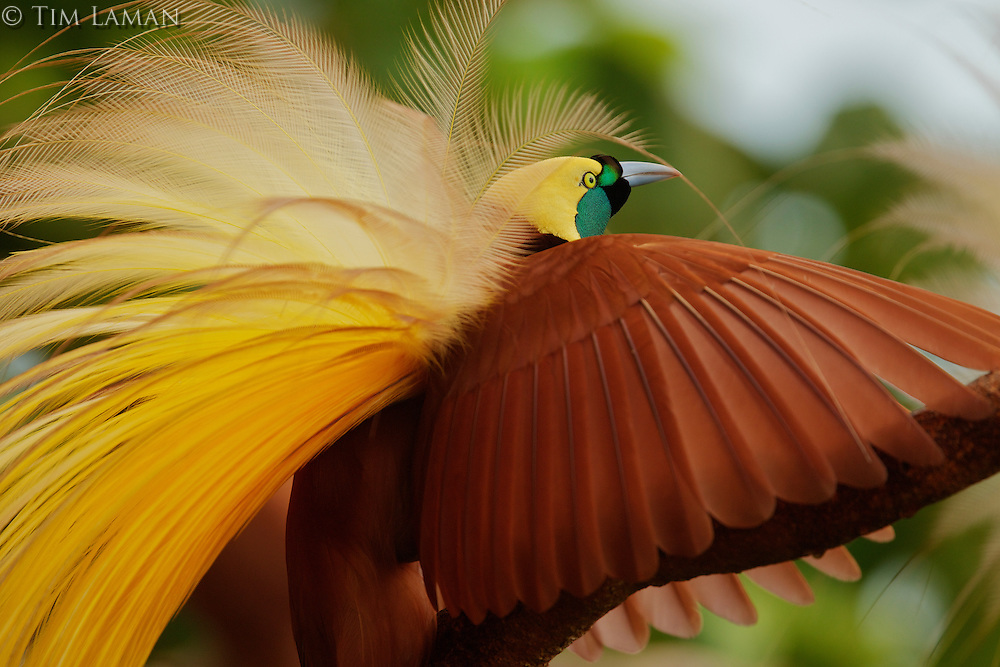 Greater Bird of Paradise (Paradisaea apoda).  Adult male performing upright wing pose...Badigaki Forest, Wokam Island in the Aru Islands, Indonesia.<br /> <br /> This image is available as a limited edition fine art print through National Geographic Fine Art Galleries.