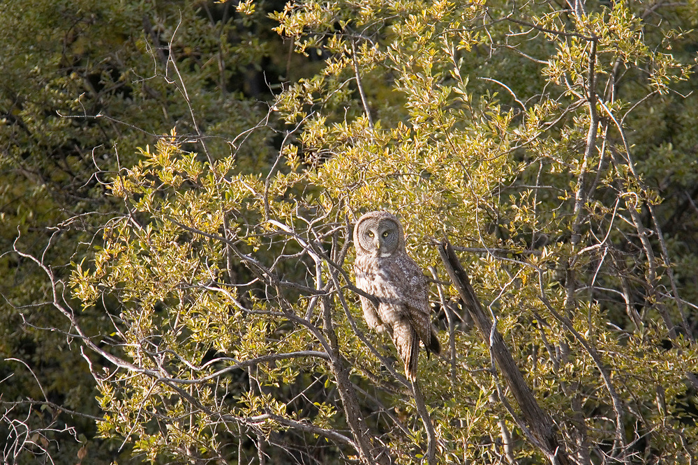 A great gray owl perches in willow shrubs in the northern boreal forest while hunting voles on the south side of the Brooks Range