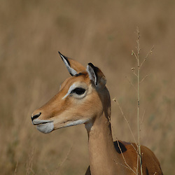 Portrait of a female impala.