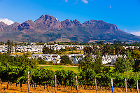 Vineyards at harvest time, Kleine Zalze Wines (De Zalze Golf Club in background), Stellenbosch, Cape Winelands, South Africa. , Stellenbosch, Cape Winelands, South Africa.