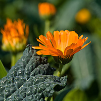 Orange calendulas with Cavollo Nero kale (Brassica oleracea 'Nero Di Toscana')
