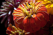 Colorful Zinnias in a close up photograph