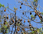 The Royal Botanic Gardens in Sydney (New South Wales) are home to a colony of thousands of Grey-headed Flying Foxes (Pteropus poliocephalus, order Chiroptera), a large species of fruitbat native to Australia. Garden managers are trying to move the colony elsewhere because the bats have killed dozens of trees. Grey-headed Flying Foxes can live up to 15 years in the wild and 22 years in captivity. Like most megabats and unlike microbats, they don't use echolocation, and instead rely on sight to navigate and locate food (nectar, pollen, and native fruits).