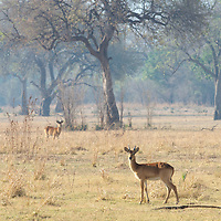 South Luangwa National Park, Zambia.