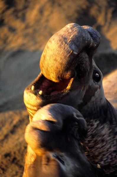 Northern Elephant Seal, (Mirounga angustirostris)  Large male vocalizing. California.