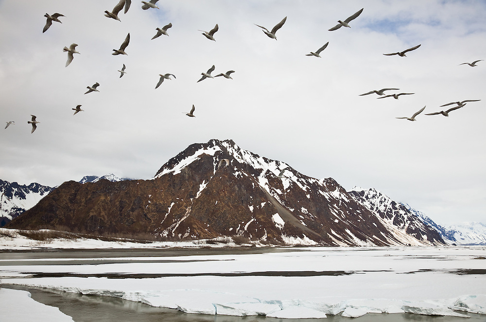 Seagulls flying over the Copper River in search of Eulachon in the early spring during break-up of the river with the Chugach Mountains in the background in the Copper River Delta of Southcentral Alaska. Afternoon.