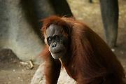 Portait of a female Orangutan. Toronto Zoo.