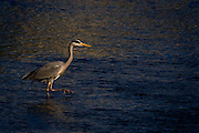 Ardea cinerea, Grey Heron on the Tolka River, Dublin City..