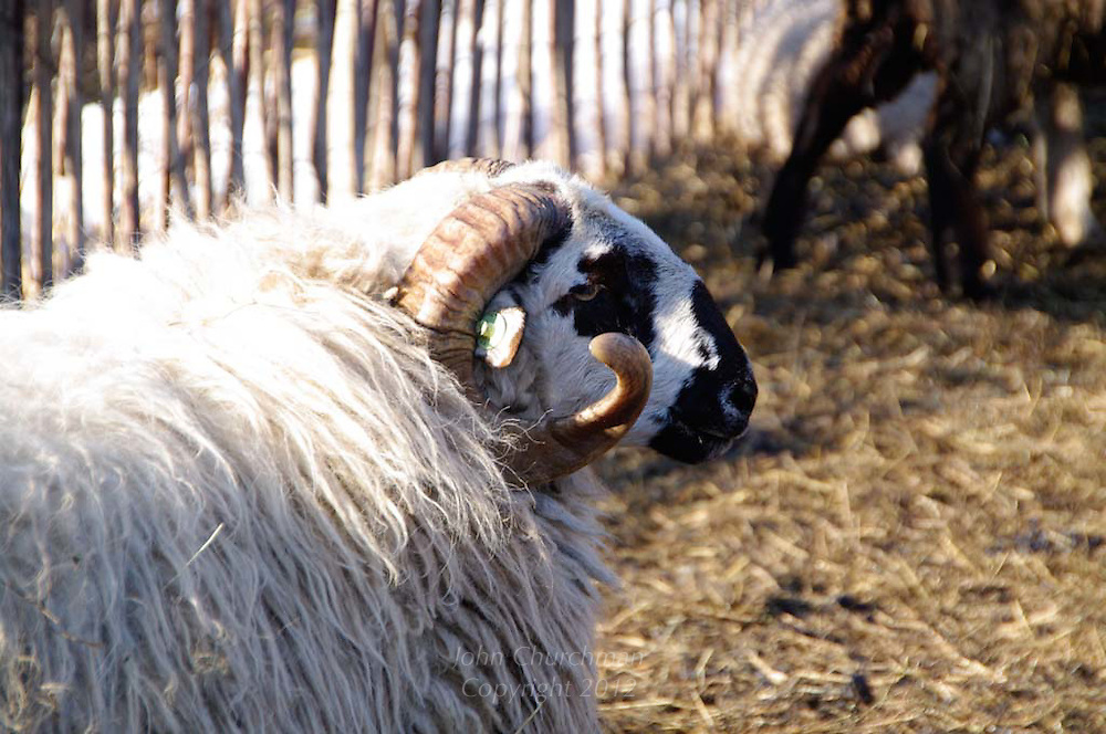 black face ram in barnyard