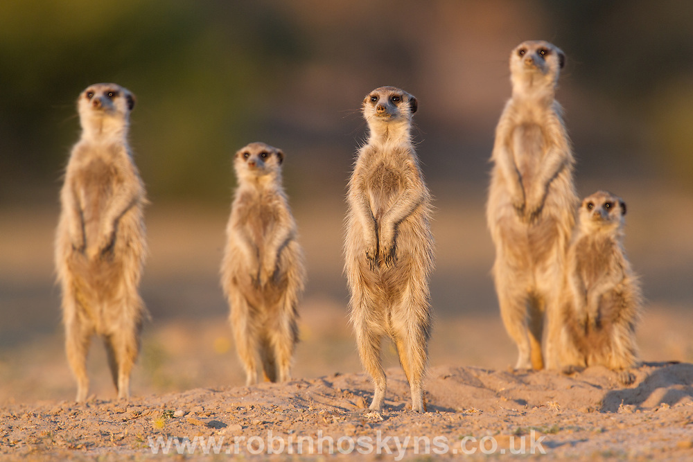 A Meerkat group stands together to catch the last of the suns energy before returning to thier burrow.