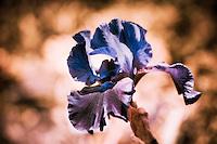 The beautiful shapes of iris petals.