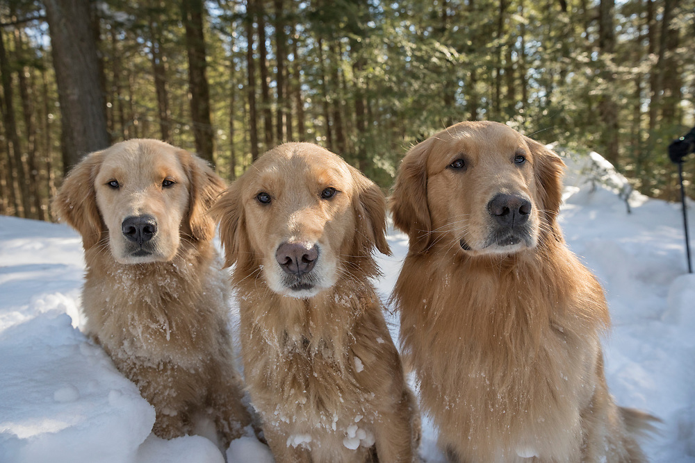 three Golden retrievers looking at camera in the snow