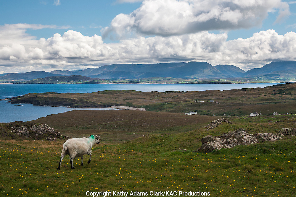 Sheep in grassy field on Clare Island off the coast of western Ireland.