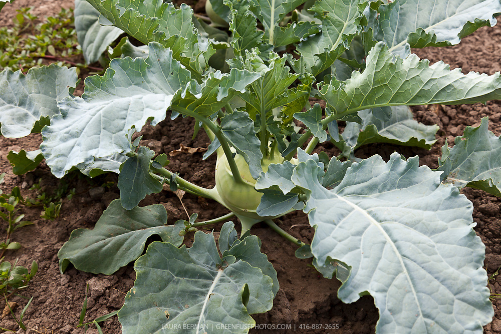 White kohlrabi in the vegetable garden (Brassica oleracea gongylodes).