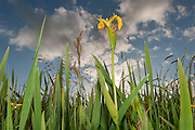 Compared to some of Orkney's other flowers, the Flag Iris seems almost garish with its enormous yellow flower.