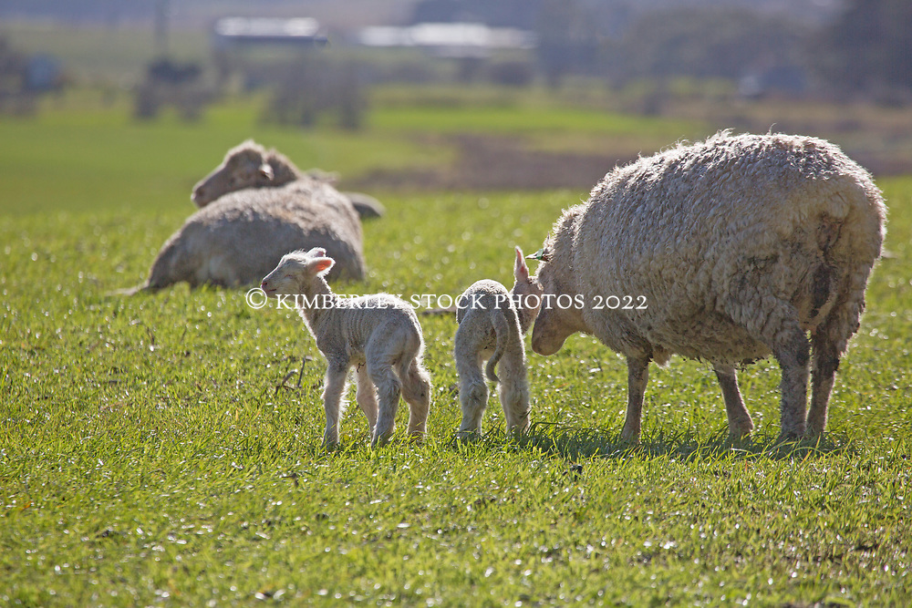 Newborn lambs near Cressy in northern Tasmania