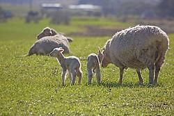 Newborn lambs near Cressy in northern Tasmania