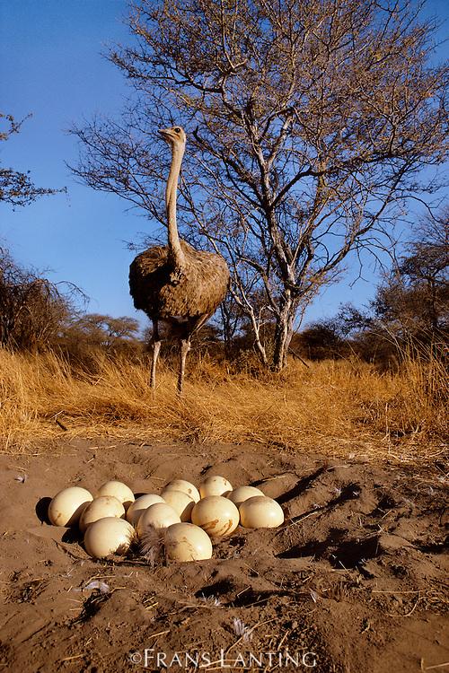 Ostrich female with eggs, Struthio camelus, Botswana