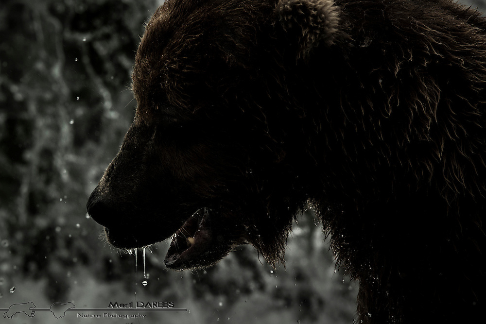 A backlit grizzly bearwith water dripping off his hair
